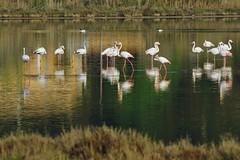 flamants en groupe (guy dhotel) Tags: oiseaux birds flamantsroses étang