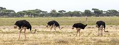 OSTRICH 2 (Nigel Bewley) Tags: tanzania africa wildlife nature wildlifephotography nigelbewley photologo appicoftheweek safari gamedrive ostrich struthiocamelus march march2019