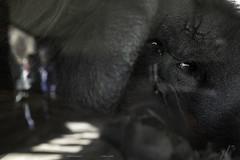 Extrema Soledad (yorxca) Tags: españa madrid zoo orangután simio mirada primate mono cárcel jaula soledad abandono sufrimiento agonía humillación feria aburrimiento exhibición astío