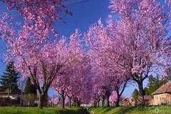Spring 2019 (Kapi Zoli) Tags: tavasz spring landscape tájkép falu village vidék country vérszilva prunus cerasifera f atropurpurea virágzáz blooming