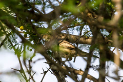 Olive Tree Warbler, Ratelpan, Kruger National Park, Jan 2019 (roelofvdb) Tags: 2019 626 date january knp olivetreewarbler place satara southernafricanbirds warbler warblerolivetree year