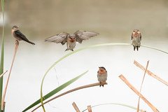Welcome Swallow (Athena Georgiou) Tags: wildlifephotography westernaustralia canon5div birdsofaustralia australia welcomeswallow westernaustralianbirds hirundoneoxena bird birds
