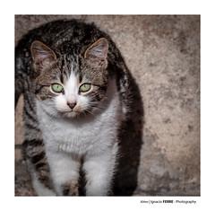 Kitten (Ignacio Ferre) Tags: gato gatocomún cat kitten felidae felino felid feliscatus felids feline pet mascota animal mammal mamífero retrato portrait
