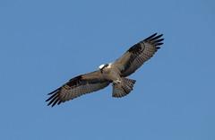 Osprey (Laura Erickson) Tags: pandionidae birds species massachusetts accipitriformes osprey places danielwebsterwildlifesanctuary massachusettsaudubon pandionhaliaetus