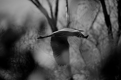 Dreaming (carlo612001) Tags: dreaming dream monochrome inflight emotion emotions emotional heron airone