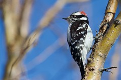 fullsizeoutput_3a8 (barrypphotos) Tags: outside bird downy woodpecker calgary