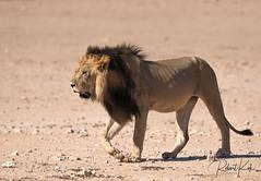A Kgalagadi King on a stroll! (Jambo53 ()) Tags: nikond800 nikon500mm iso400 f8 13200 copyrightrobertkok crobertkok nature natuur kgalagaditransfrontierpark southafrica zuidafrika wildlife lion leeuw blackmaned zwartemanen