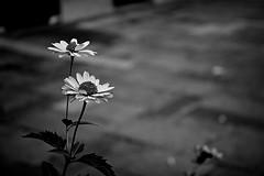 colorless flowers (haidem3) Tags: bw blackandwhite flowers pavement plants blossom minimalism street