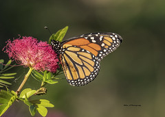 Busy  Monarch Butterfly (Mike_FL) Tags: busymonarchbutterfly nikon nature nikond7500 tamron100400 markhampark butterfly outdor florida floridawildlife image photograph