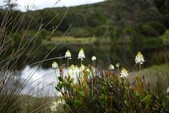 Candles or Rockets? (busyBlueMtsGranny) Tags: rocket flower cradlemountain cradlemountainnationalpark tasmania australia kingbillywalk stackhousiamonogyna candle