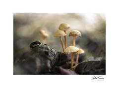 Watch Over Me (g.femenias) Tags: mushrooms fungi fungus nature naturallight macro macrophotography helios44258mmf2 extensionring bonany petra mallorca bokeh swirlybokeh