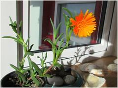 Some sort of Succulent? (JulieK (thanks for 8 million views)) Tags: hww windows window plant flower orange bloom succulent porch cottage wexford ireland irish nature colourful shadow windowsill canonixus170 2019onephotoeachday