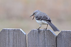 Northern Mockingbird (deanrr) Tags: mockingbird northernmockingbird alabama morgancountyalabama 2019 fence bird feathers expression outdoor nature h