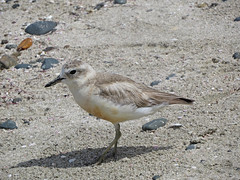New Zealand Dotterel (tedell) Tags: new zealand dotterel adult tirtiri matangi rodney district auckland december 2018 bird