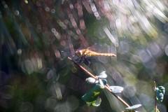 Dragonfly / 蜻蛉      Boyer Paris Saphir <<B>> 100mm F 4.5 (情事針寸II) Tags: クローズアップ 自然 昆虫 蜻蛉 oldlens bokeh closeup nature insect dragonfly boyerparissaphirb100mmf45