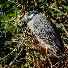 Yellow-crowned Night Heron (Jim Frazier) Tags: 201801floridatrip 2019 ardeidae nyctanassa nyctanassaviolacea pelecaniformes animals beautiful beauty bird birding birds birdwatching brush dingdarlingnationalwildliferefuge direct doneexportedtoflickr fauna flora foliage january jimfraziercom leaf leaves living mangroves marsh nationalwildliferefuge natural nature nwr plants portrait portraits portraiture profile roadtrip sanibel sanibelisland square sunny swamp usfws vacation wetland wildlife winter woodland woods yellowcrownednightheron q4 f10 fastpictures instagram