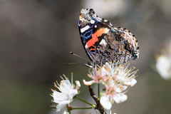 Red admiral (jim_mcculloch) Tags: 3802 butterflies