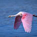Roseate spoonbill in flight over water at J.N.