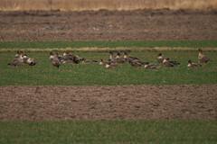 dzikie gęsi // Anser (stempel*) Tags: polska poland polen polonia gambezia pentax k30 gęsi gęś geese anser kraśnicza wola bigma bird wild wildlife