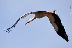 (Enllasez - Enric LLaó) Tags: cigonya cigüeñablanca cigüeñas aves aus bird birds ocells pájaros 2019 lleida