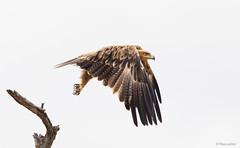 Tawny Eagle just after take off -8060 (Theo Locher) Tags: aquilarapax birds oiseaux roofarend savannearend tawnyeagle vogels vögel kruger krugernationalpark copyrighttheolocher