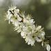 blooming blackthorn