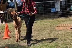 DSC_5110 (VAYG) Tags: vay vytec paraders aaa victorian alpaca association youth australian australia iar 2019 alpacas alpacalypse crystal cove profarma jay hall athena melbourne show redhill red hill