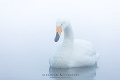 Tundra Swan (Alexandre & Chloé Bès - Waitandshoot Photography) Tags: canon exterieur nature forest outdoor animal extérieur winter snow wind japon hokkaido neige close japan compagnie swan oiseau bird tundra cygne