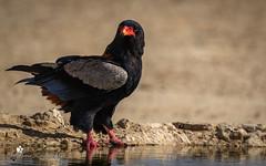 Bateleur (petraherdlitschke) Tags: africa animals bird kgalagadi südafrika bateleur safari canon7dmark2 sigma150600sport nature