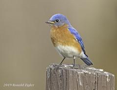 Eastern Bluebird IMG_4018 (ronzigler) Tags: thrush songbird nature birdwatcher avian wildlife bluebird eastern bird watcher
