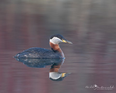 Red-necked Grebe (Bill McDonald 2016) Tags: grebe water ontario calm reflection spring april 2019 swimming red pond lake billmcdonald wwwtekfxca relaxed relaxing