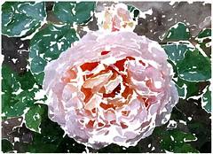 Getreuer Jesu, deine Not und Schmerzen (amras_de) Tags: rose rosen ruža rosa ruže rozo roos arrosa ruusut rós rózsa rože rozes rozen roser róza trandafir vrtnica rossläktet gül blüte blume flor cvijet kvet blomst flower floro õis lore kukka fleur bláth virág blóm fiore flos žiedas zieds bloem blome kwiat floare ciuri flouer cvet blomma çiçek zeichnung dibuix kresba tegning drawing desegnajo dibujo piirustus dessin crtež rajz teikning disegno adumbratio zimejums tekening tegnekunst rysunek desenho desen risba teckning çizim