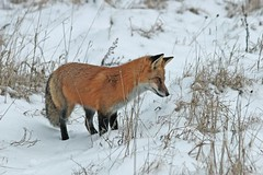 Concentration (marylee.agnew) Tags: red fox hunting snow vulpes nature wildlife cold outdoor winter