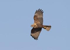 Western Marsh Harrier (circus aeruginosus) (Steve Ashton Wildlife Images) Tags: western marsh harrier westernmarshharrier marshharrier raptor bird prey birdofprey