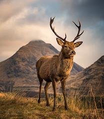 The Stag (GenerationX) Tags: argyll barr canon6d dalness glenetive highlands neil reddeer scotland scottish scottishreddeer srã²nanfhorsair stobnabrã²ige antlers buck clouds deer grass horns landscape mountains sky stag