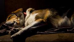 Sieste (Jérôme_M) Tags: canon eos 600d 50mm chien dog perro aquitaine landes seignanx portrait lumiere light nyx compagnon sieste
