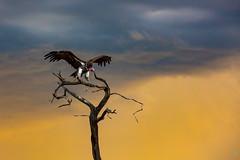 Vulture (aaronvonhagen) Tags: beyond 5dmarkiii cnp adventureisoutthere africa africansafari andbeyond botswana canon chobenationalpark lodge luxurysafari okavangodelta safari savute savuti southernafrica travel travelphotography vancouverphotographer wildlife xudum
