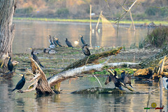 A-LUR_1986 (OrNeSsInA) Tags: ornessina trasimeno lago byrd natura nature aironi umbria itali italia