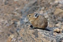 American Pika (Ochotona princeps) (Ron Wolf) Tags: americanpika cony lagomorpha nationalpark ochotonaprinceps ochotonidae rockymountainnationalpark rockymountains alpine mammal nature wildlife colorado