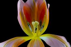 Tulipa 1 (kudi.buehlmann) Tags: sigma nikon flowers nature tulip tulpe tulipa blume schnittblume macro rosa farbig studio
