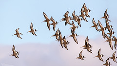 Black-tailed Godwit flight display (Steve (Hooky) Waddingham) Tags: stevenwaddinghamphotography animal amble countryside coast bird british nature northumberland flight wild wildlife