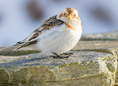 JWL0433  Snow Bunting... (Jeff Lack Wildlife&Nature) Tags: snowbunting buntings bunting snow mountains mountain moorland moors cairngorms highlands scotland birds avian animal animals wildlife wildbirds wildlifephotography jefflackphotography wintermigrant winter countryside nature