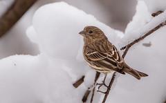 Female House Finch (Lynn Tweedie) Tags: wood beak tail wing canon ngc animal female housefinch 7dmarkii missouri ice sigma150600mmf563dgoshsm bird tree snow winter eos feathers eye white