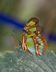 Malachite Butterfly (SarahW66) Tags: malachite butterfly butterflies insect insectonplant insectphotography butterflyhouse hornimanmuseum nature naturalbokeh naturephotography bokehphotography greenandblue canon80d canon sigma105mm sigmamacro sigma
