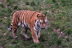 IMG_1479 (Simon M Hendry) Tags: yorkshirewildlifepark zoo england yorkshire wildlifepark animal mammal tiger bigcat amurtiger walking