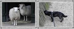 curious (BrigitteE1) Tags: tiergehegebremen buddylein buddy deutschland germany schafe sheep dog hund bestfriend curious neugierig fun