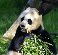 Hungry Panda (filmcrazy1014) Tags: nikon nature wildlife animals panda black white leaves leave leafs leaf outdoor wood tree trees bear asian animal zoo cute eating bamboo sunshine shadow colors green