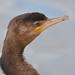 Neotropic Cormorant, Phalacrocorax brasilianus (Dave Beaudette) Tags: birds neotropiccormorant phalacrocoraxbrasilianus reidpark tucson pimacounty arizona