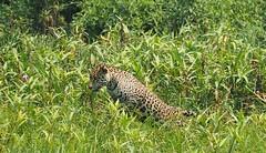 Hunting Jump (quentjoss) Tags: jaguar felin pantanal brazil wildlife vegetation hunting hunter chasse olympus zuiko jump saut