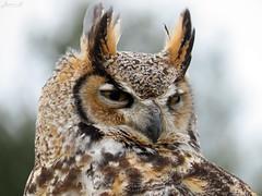 Oliver Great Horned Owl CRC IMG_4651 (Jennz World) Tags: ©jennifermlivick canadianraptorconservancy vittoria ontario canada greathornedowl owl raptor